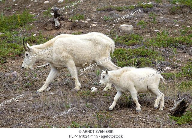 Rocky Mountain goat (Oreamnos americanus) female with young foraging in mountainside, Jasper National Park, Alberta, Canada