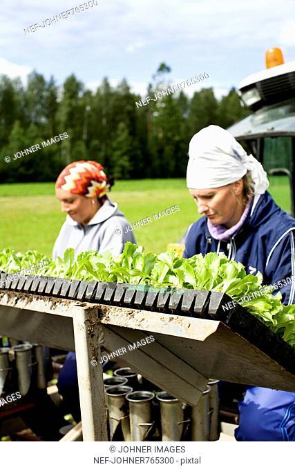 People planting iceberg lettuce on a field, Finland