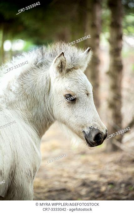Young light colored icelandic horse foal posing for the camera