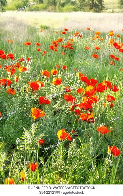 Poppies growing in a field in Washington State, USA. Papaver rhoeas