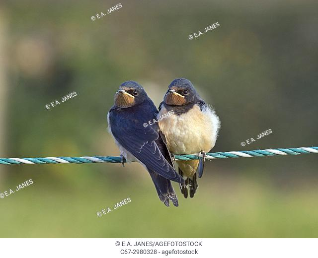 Young Swallows Hirundo rustica on fence waiting to be fed