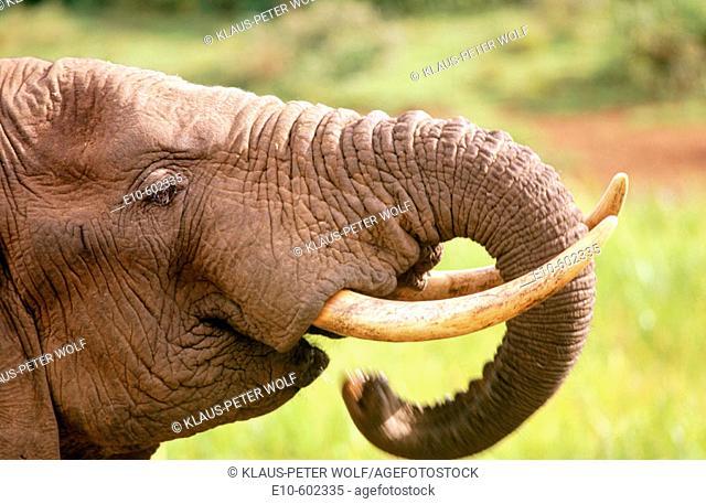 African Elephant (Loxodonta africana), drinking. Kenya