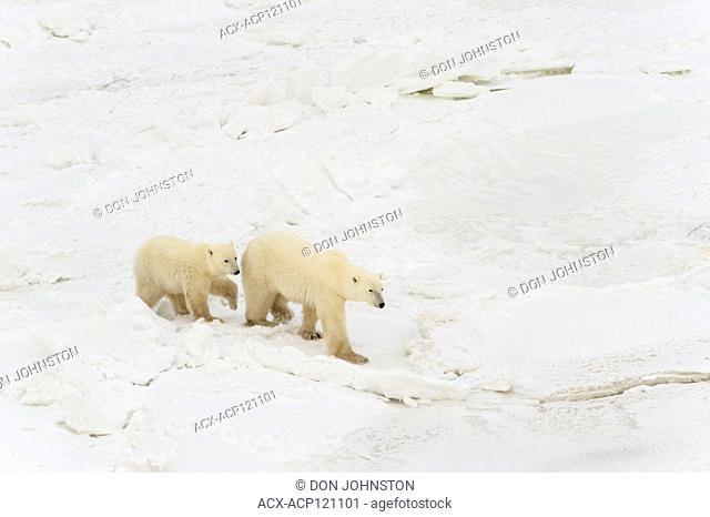 Hudson Bay coastline at freeze-up from the air- polar bear