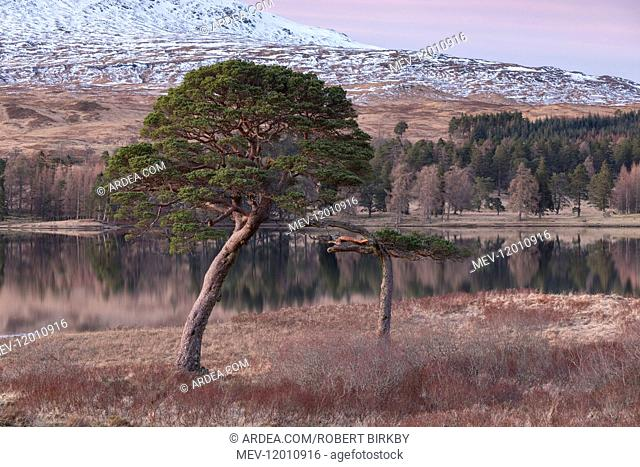 Scots Pine trees beside Loch Tulla in winter - Scotland, UK