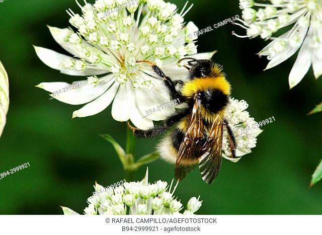 Bee on flowers of Astrantia sp. (fam. Apiaceae), Incles valley, Andorra, Europe