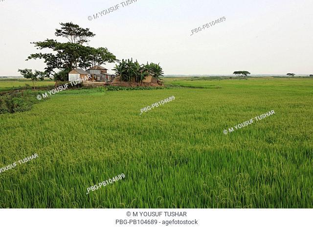 A paddy field in Gopalgonj, Bangladesh April 15, 2010