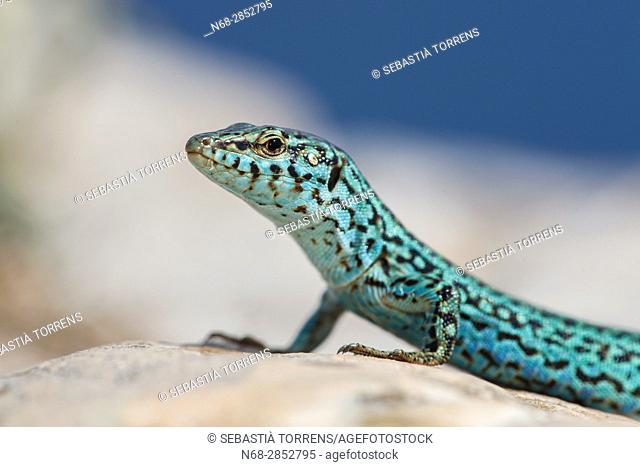Lizard (Podarcis pityusensis) Formentera, Balearic islands, Spain