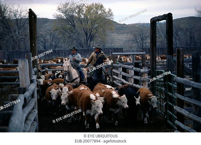 Cowboys with cattle in cor-ral