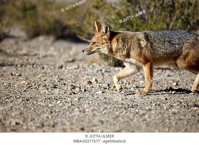 Bolivia, Los Lipez, Laguna Canapa, Andes fox