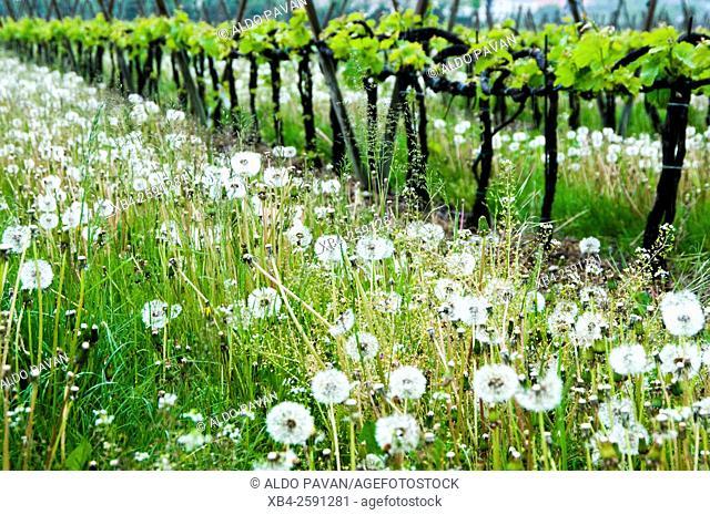 Dandelion in vineyard, Calino, Franciacorta wine area, Brescia province, Italy