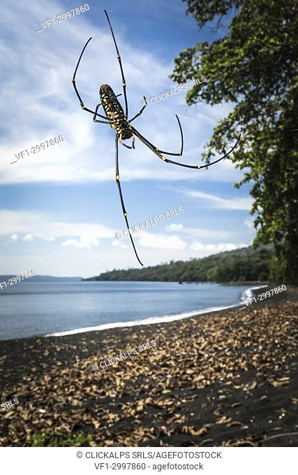 northern golden orb weaver, Nephila pilipes, Tangkoko National Park,Northern Sulawesi, Indonesia