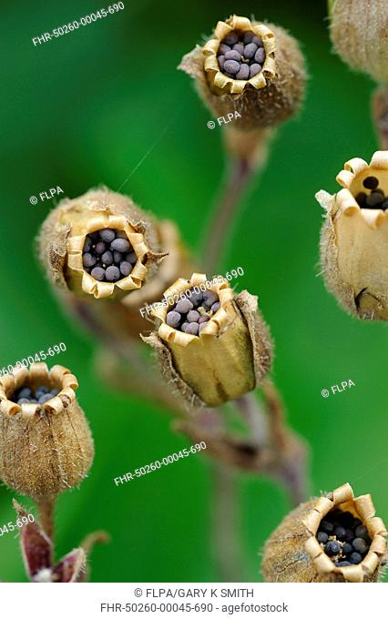 Red Campion Silene dioica close-up of seedpods with ripe seeds, Norfolk, England, july