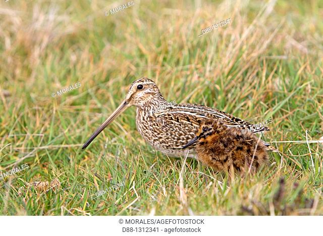 Falkland Islands , Sea LIon island , Magellanic snipe or South American Snipe Gallinago paraguaiae magellanica  , female and young , Order : Charadriiformes