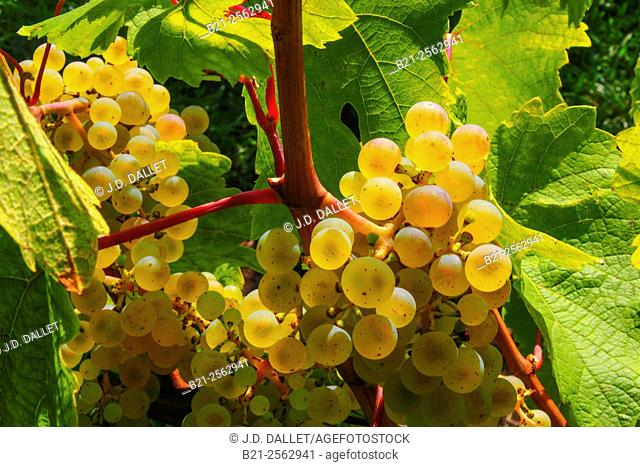 Riesling grapes, Riquewhir, Haut-Rhin, Alsace, France