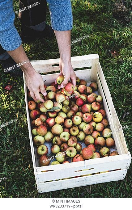 High angle close up of red and green apples in crate. Apple harvest in autumn