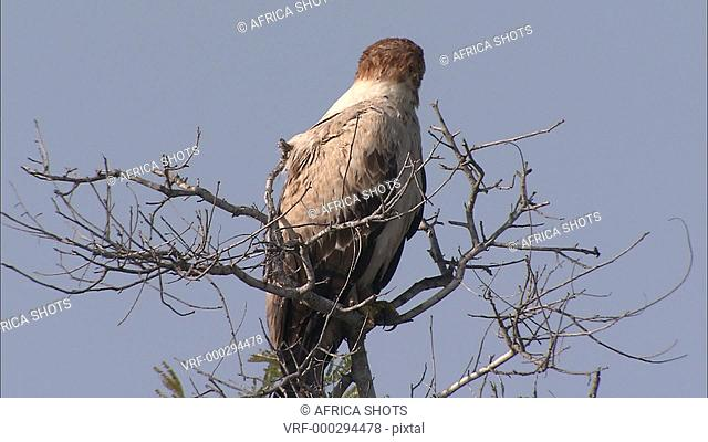 A large Tawny Eagle (Aquila rapax), bird, sitting at the top of a dry tree in the African Bushveld, Bush, then flies away. South Africa
