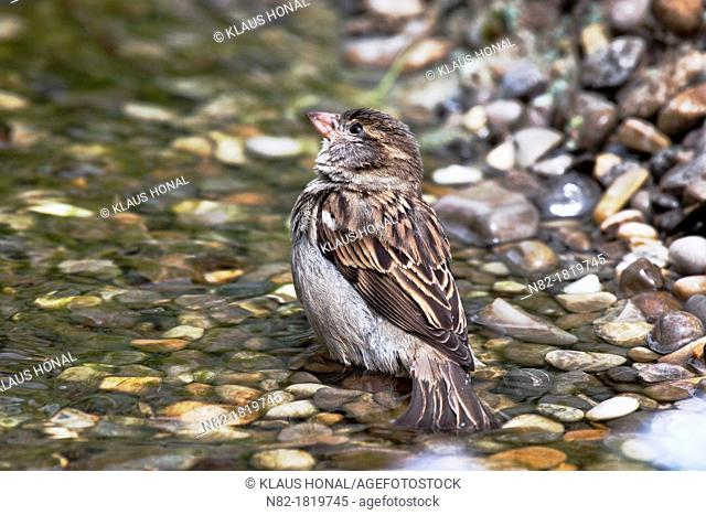 House sparrow Passer domesticus female bathing in a brook - Bavaria/Germany