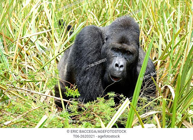 Eastern lowland gorilla (Gorilla beringei graueri), silverback dominant male, feeding in the marshes, Kahuzi Biega NP, Democratic Republic of Congo, Africa