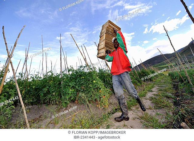 Tomato crops (Solanum lycopersicum), with field irrigation in the Andean highlands, young man carrying crates for the harvest