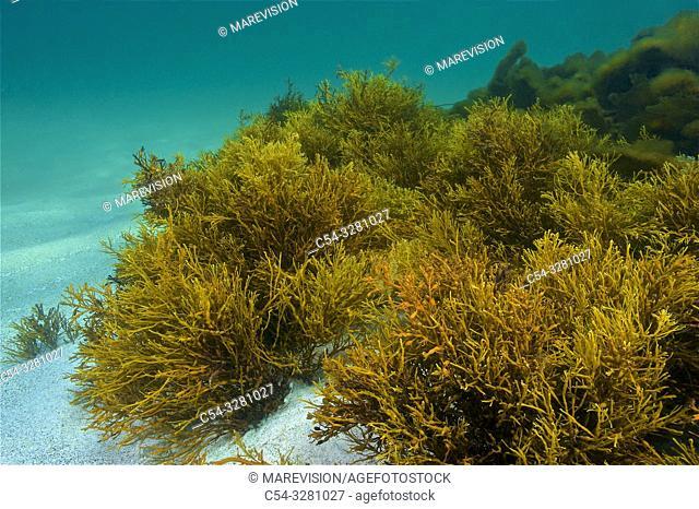 Brown Seaweed (Cystoseira baccata). Eastern Atlantic. Galicia. Spain. Europe
