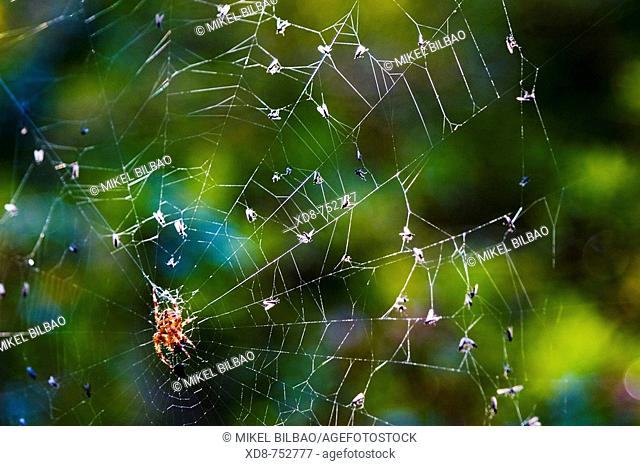 European garden spider (Araneus diadematus) in its web with preys, Saja-Besaya Natural Park, Cabuerniga valley, Cantabria, Spain, Europe