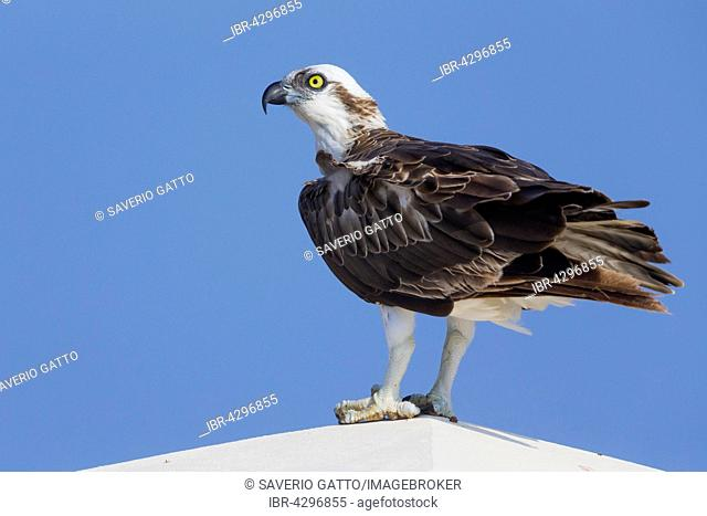 Osprey (Pandion haliaetus), perched on a post, Qurayyat, Muscat Governorate, Oman