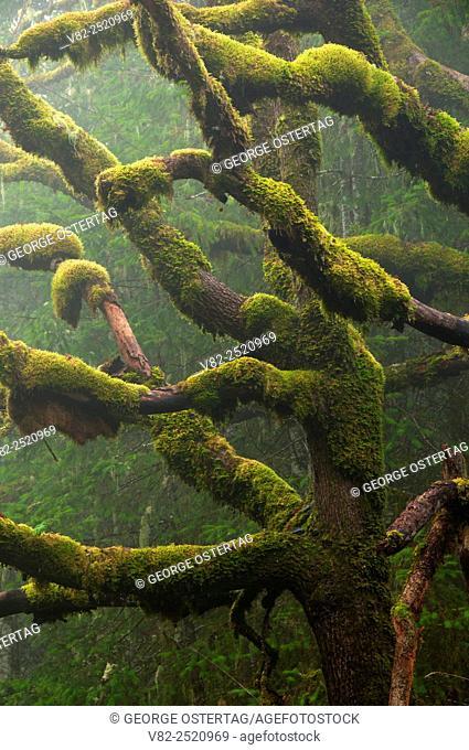Oak in fog along South Ridge Trail, Beazell Memorial Forest County Park, Benton County, Oregon