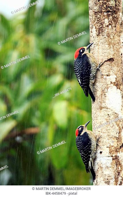 Black-cheeked woodpeckers (Melanerpes pucherani) in rain, one beneath other on tree trunk, Costa Rica