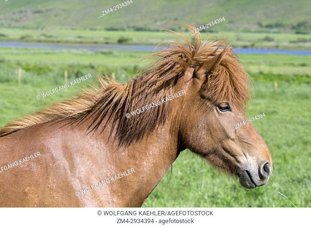 Portrait of an Icelandic horse on a pasture near Akureyri, northern Iceland