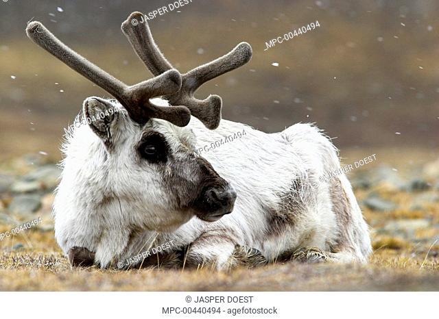 Svalbard Reindeer (Rangifer tarandus platyrhynchus) laying on the tundra in snowfall, Svalbard, Norway