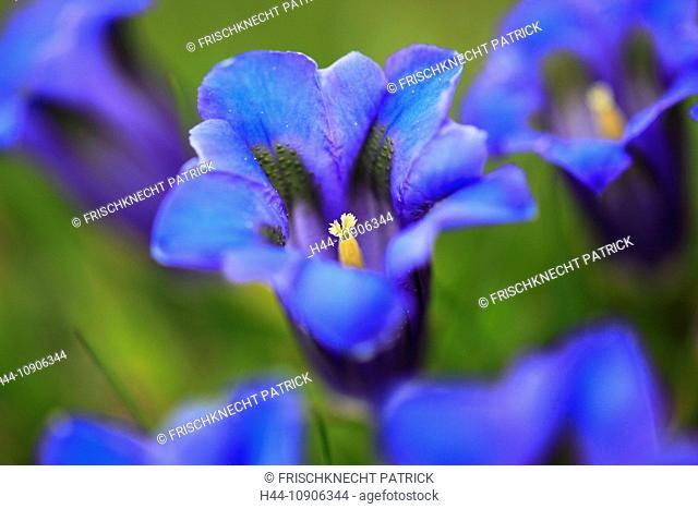 Alps, Alps, gentian, Alpine flower, Alpine flora, mountain, mountain flower, mountains, mountain pasture, canton Bern, Bernese Oberland, flowers, blossom