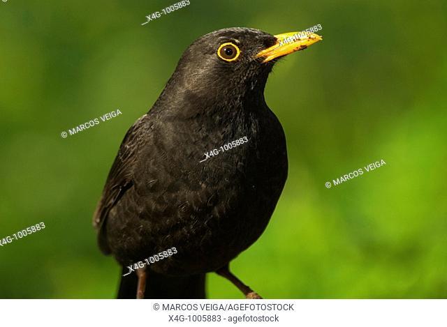 Mirlo común macho, Male blackbird, Turdus merula  Pontevedra, España