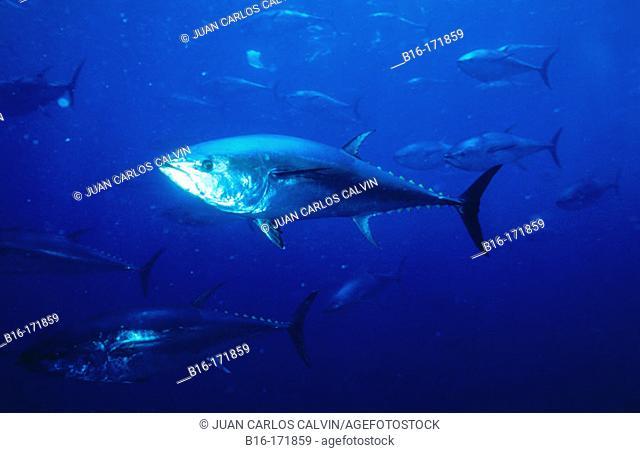 Northern Bluefin Tuna (Thunnus thynnus)