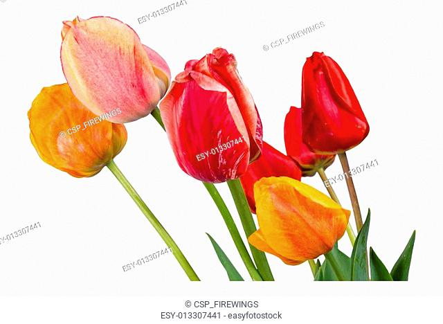 Different tulips