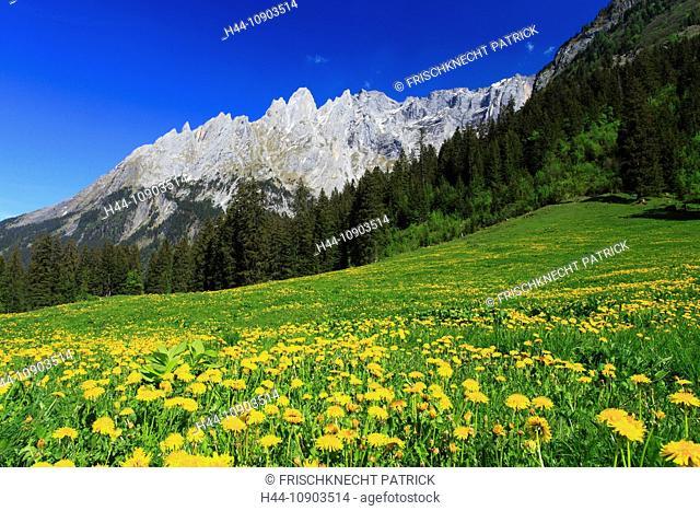 Evening, Alp, alps, flora, mountain, mountains, mountain flora, mountain spring, mountain massif, Bern, Bernese Oberland, flowers, trees, Dandelion, Engelhörner