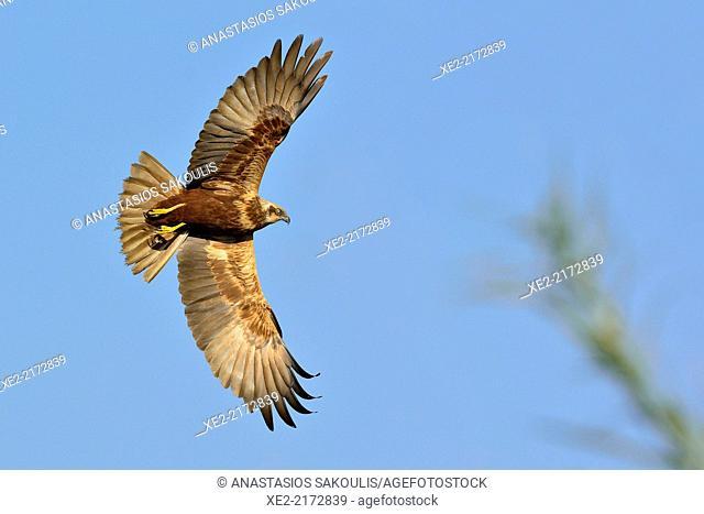Marsh Harrier - Circus aeroginosus, Crete