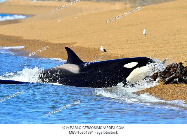Orca / Killer Whale (Orcinus orca). hunting South American Sea Lion - series 11 of 12 - Peninsula Valdes, Patagonia, Argentina, South Atlantic