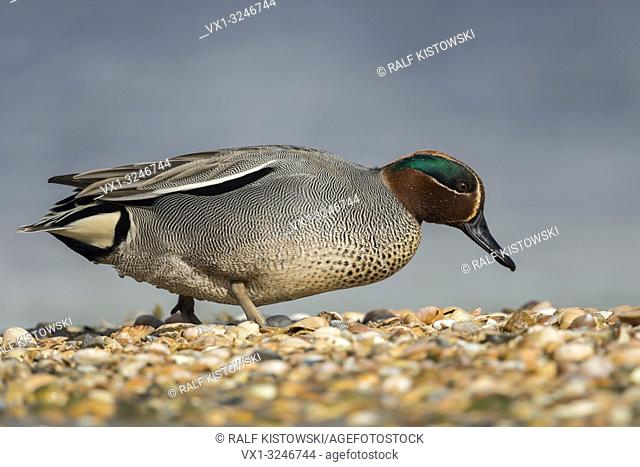 Teal / Krickente ( Anas crecca ), male adult, smallst duck in Europe, in its breeding dress, walking over a mussel bank, searching for food