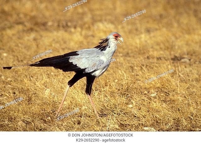 Secretary bird (Sagittarius serpentarius), Masai Mara National Park, Kenya