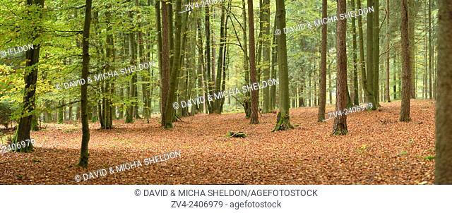 Landscape of a European beech or common beech (Fagus sylvatica) forest in autumn