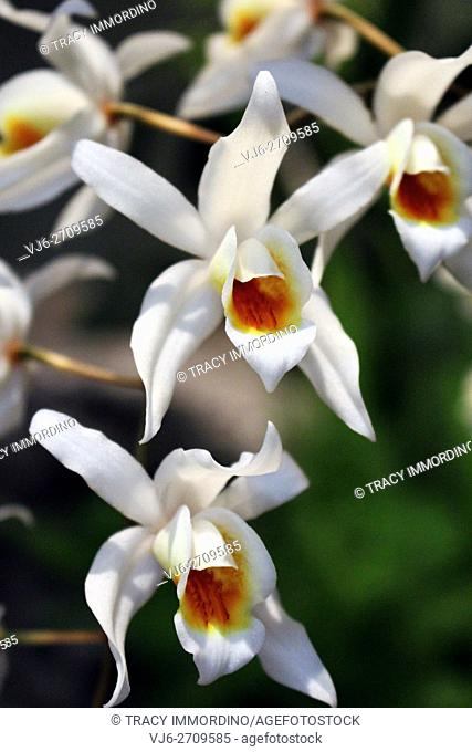 Close-up of a white orchid in full bloom