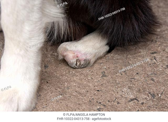Domestic Dog, Border Collie, adult, close-up of 'club foot' (mother bit off paw when born), England, July