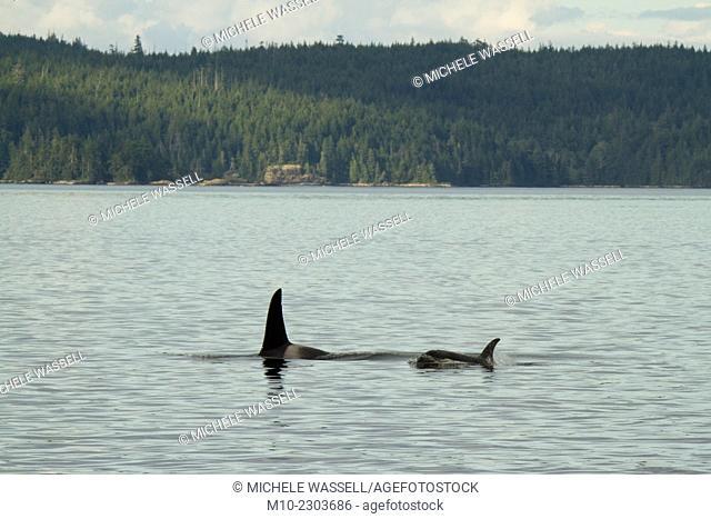 Orcas in Johnston Strait near the Robson Bight. A23 Matriline (A60 Male)