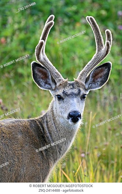 A portrait image of a wild male mule deer with his antlers in velvet in rural Alberta Canada