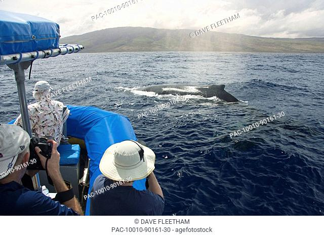 Hawaii, Maui, Lahaina, A photograher on a whale watching boat out of got a close up look at a humpback whale Megaptera novaeangliae