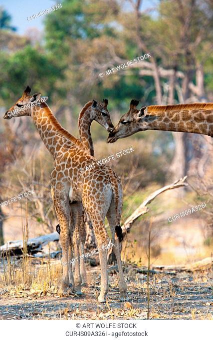 Reticulated giraffes, Okavango Delta, Botswana