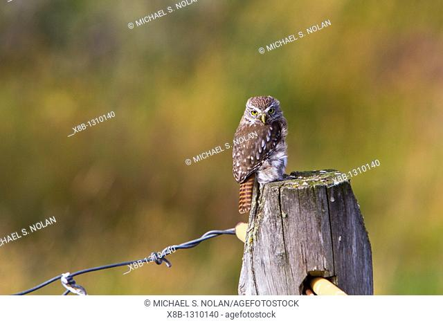 Adult austral pygmy-owl Glaucidium nanum at Estancia Harberton outside Ushuaia on Tierra del Fuego, Argentina  MORE INFO The austral pygmy-owl is found in...
