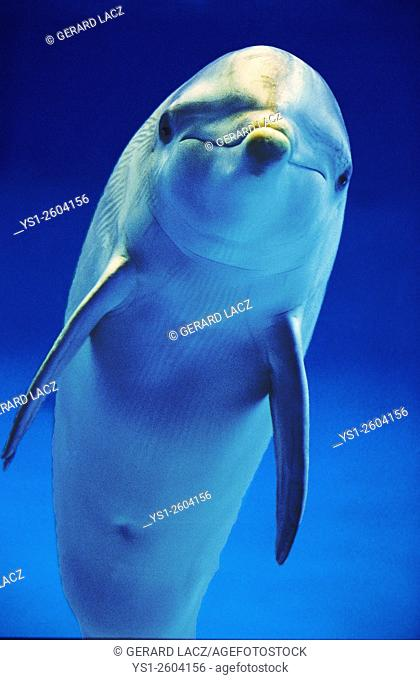 Bottlenose Dolphin, tursiops truncatus, Honduras