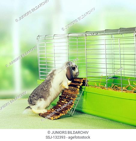 lop-eared dwarf rabbit at cage restrictions: Tierratgeber-Bücher / animal guidebooks, puzzles worldwide, mobile phone content worldwide