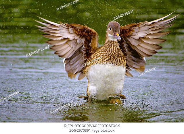Mallard wild duck, Anas platyrhynchos, female, Hyde Park, England